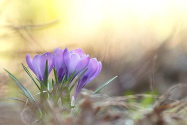 Crocus by coloridas-aves