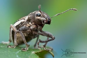 White-fringed Weevil - Naupactus sp. by ColinHuttonPhoto