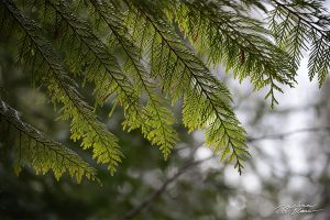 Cedar leaves by themanitou