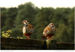 Pair Of Partridges 27 of 365 by In-the-picture