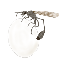 Bird-eating wasp by FanboyPhilosopher