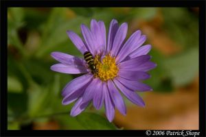 A Syrphid Fly on an Aster by pshope