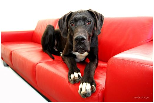 Great Couch Great Dane by KonikPolski
