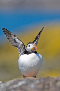 Puffin by HairyToes