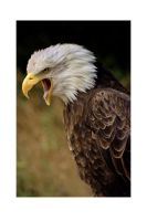 SCREAMING  EAGLE by ScarredWolfphoto