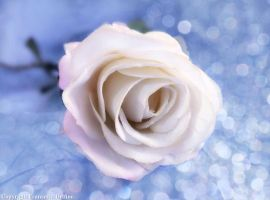 White rose with bokeh by FrancescaDelfino