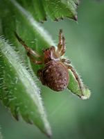 Tiny Spider by Iris-cup