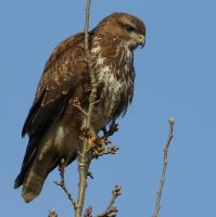 Common Buzzard by NurturingNaturesGift