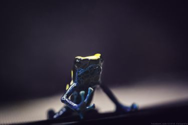 *Dyer Frog by CliffWFotografie