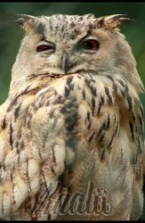 irritated owl by Kaalii