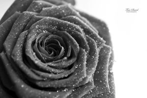 Rose. by TinaS-Photography
