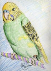 Parakeet colored pencil drawin by serenity22