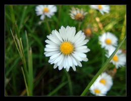 Daisy in the shade by pedramk