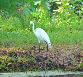 Snowy White Egret....on the other bank by knighttemplar1