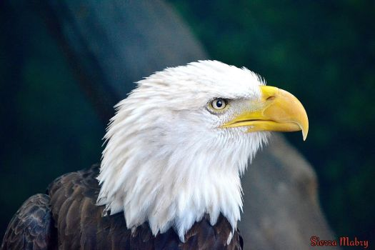 Bald Eagle by MidnightWolf62