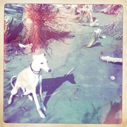 Happy Whippet at the Danube by Staged