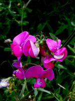 Wild Sweet Pea Stock by Carol-Moore