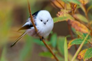 Long-tailed tit in autumn leaves by Sergey-Ryzhkov
