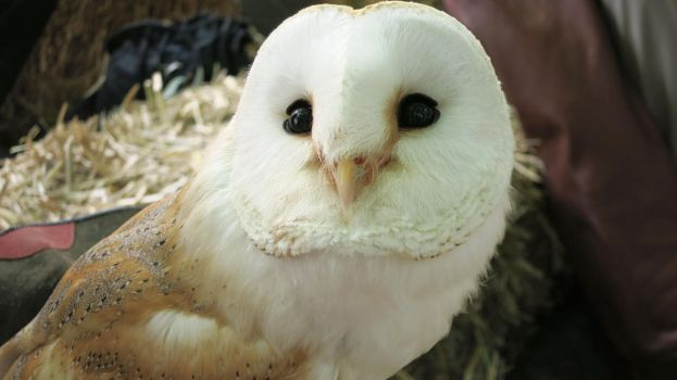 Barn Owl by Forumsdackel