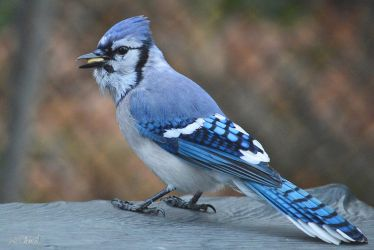Beautiful Blue Jay by Spid4