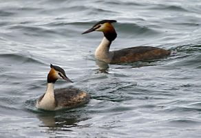 Crested Grebe by welshbeck