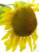 00158 - Sunflower with Bee by emstock