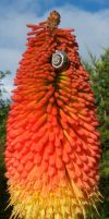 Red Hot Poker and snail by setanta5