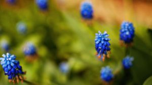 Blue flowers by Belolis
