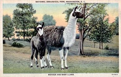 Vintage Washington D.C. - Llama Mama and Cria by Yesterdays-Paper