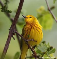 yellow warbler by purple007