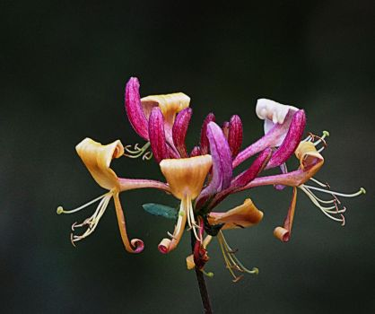 honeysuckle 2 by awjay