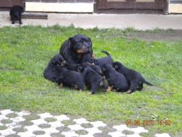 Rottweiler by Whispery
