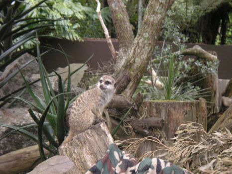 Curious Meerkat by MaeMoon