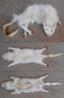 albino opossum by flayote