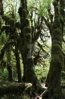 Hoh more Moss Trees 2 by seancfinnigan