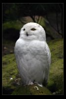 Hedwig by W0LLE