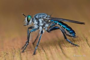 Blue Robberfly by melvynyeo