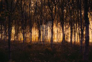 Sunrise through tress by mantronica