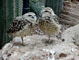 Nasty Looks from the Burrowing Owls by Mouselemur
