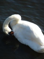 Swan seen from above by Cyklopi