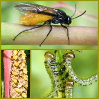 Sawfly Life Cycle by Iris-cup