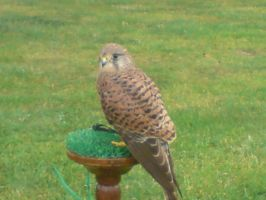 kessy the kestral 5 by x9000