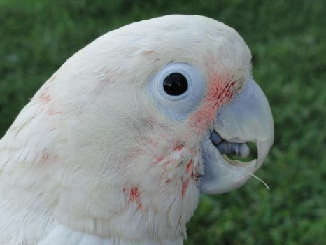 Chili the Cockatoo by sabrieth