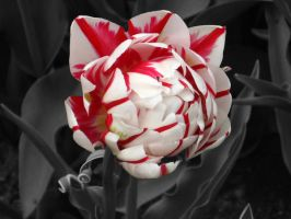 The Candy Cane Flower by serene1980
