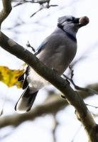 Bluejay 002 by Elluka-brendmer