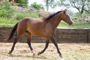 KM Brown trot side view by Chunga-Stock