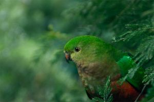 King Parrot female by Dryad-8
