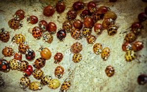march of the lady bugs by blackasmodeus
