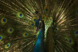 Peacock Display 2 by toshema