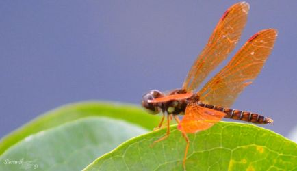 Dragonfly Series (Eastern Amberwing) by sioranth